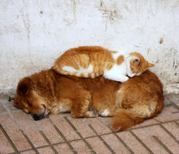 cute cats sleeping on dogs 26 605