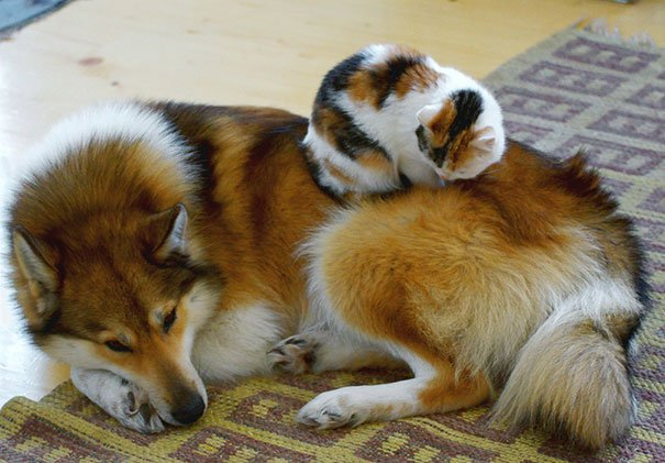 cute cats sleeping on dogs 29 605