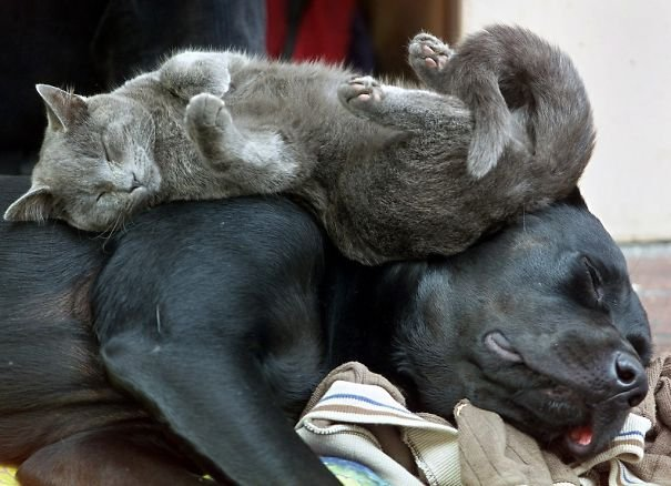 cute cats sleeping on dogs 2 605