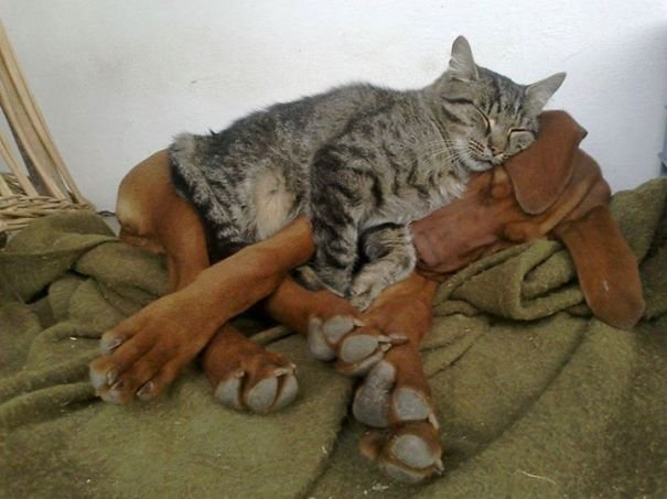cute cats sleeping on dogs 30 605