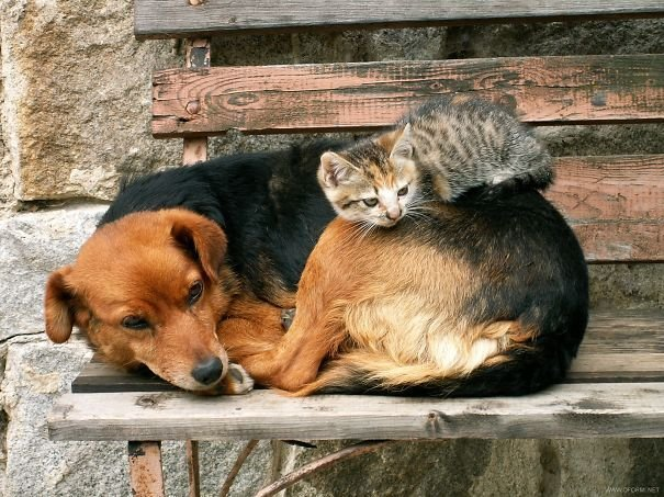 cute cats sleeping on dogs 3 605
