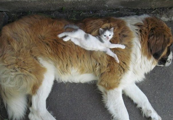 cute cats sleeping on dogs 4 605