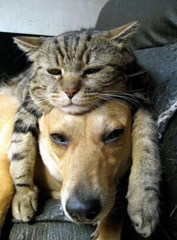 cute cats sleeping on dogs 7 605