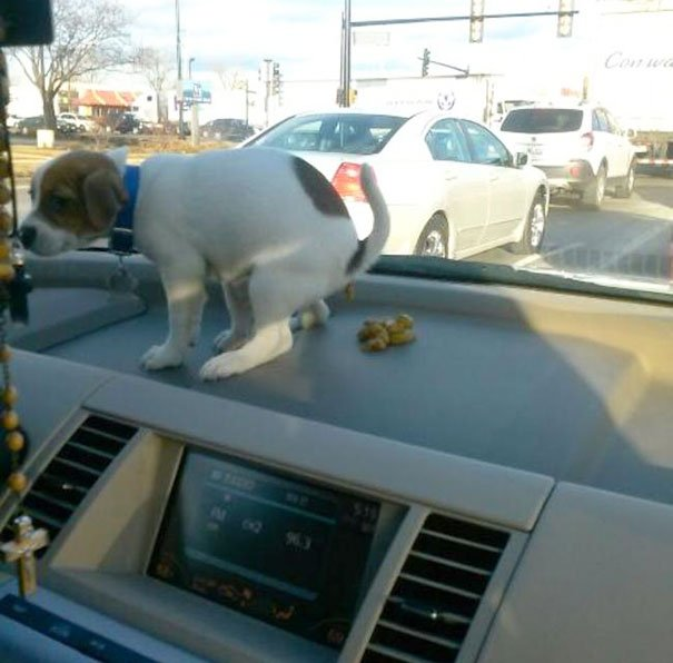 naughty dog pooping on dashboard 605