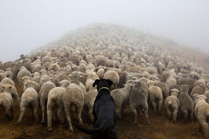 working dog photography shepherds realm andrew fladeboe 11