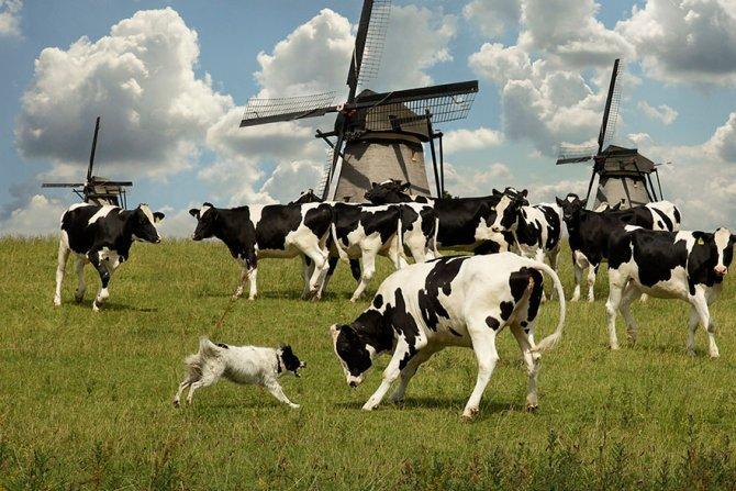 working dog photography shepherds realm andrew fladeboe 18