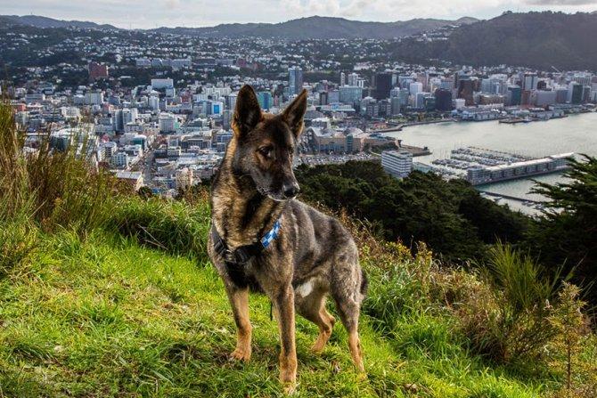 working dog photography shepherds realm andrew fladeboe 24