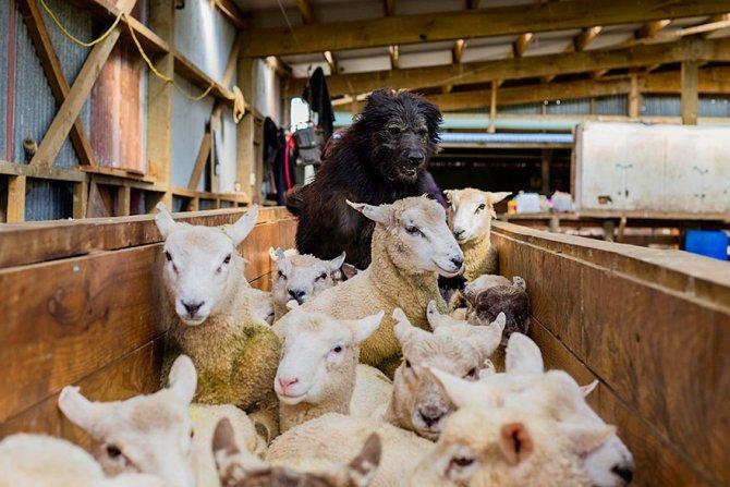 working dog photography shepherds realm andrew fladeboe 6