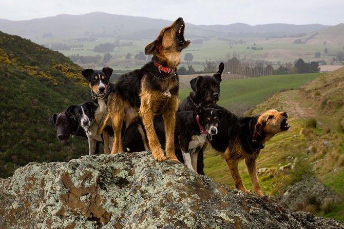 working dog photography shepherds realm andrew fladeboe 9