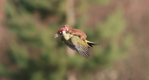 Questa donnola prende un passaggio volante da un picchio. Ma non è come sembra
