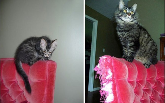 XX Before And After Photos Of Cats Growing Up 2 880