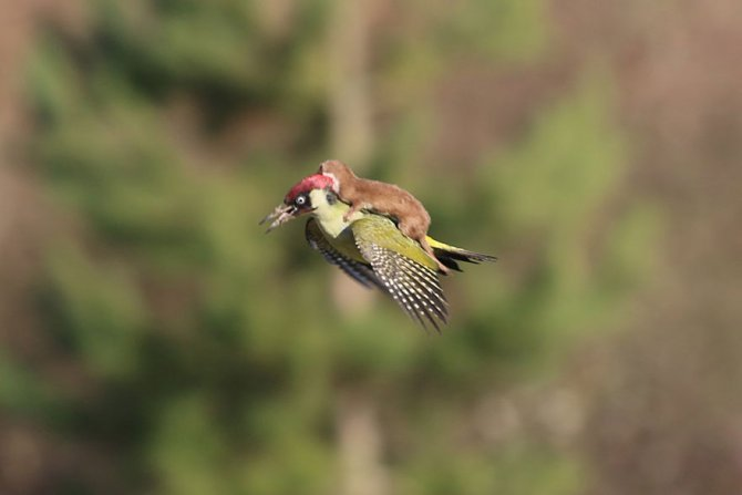 weasel riding woodpecker wildlife photography martin le may 1