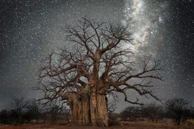 ancient oldest trees starlight photography beth moon 1