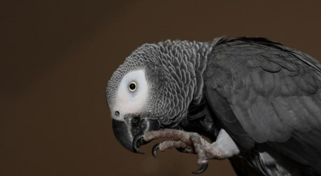 cenerino-pappagallo-657x360