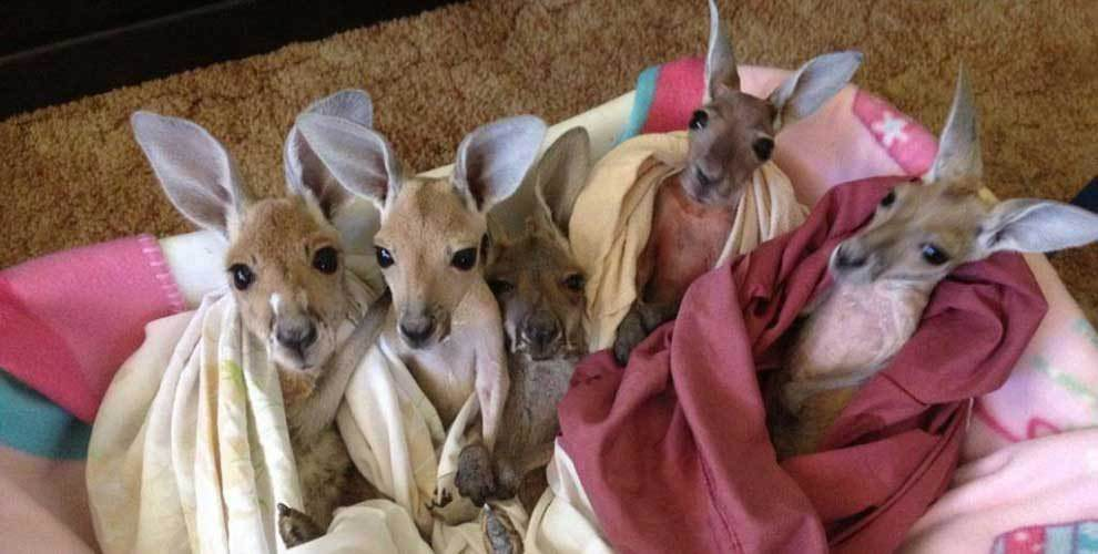 Good-guy-has-saved-28-orphan-baby-kangaroos-after-their-moms-were-killed-by-cars2-990x500
