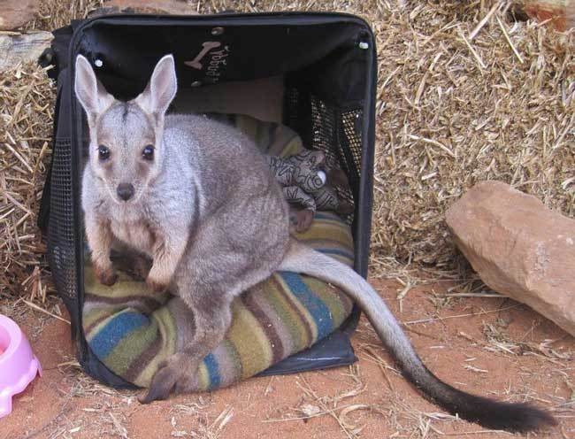 Good-guy-has-saved-28-orphan-baby-kangaroos-after-their-moms-were-killed-by-cars3-650x496