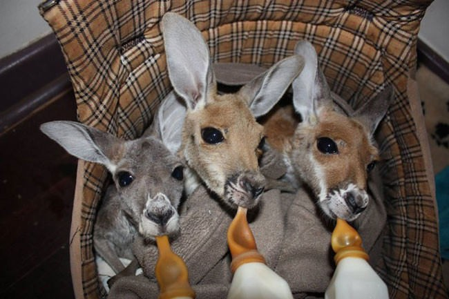 Good-guy-has-saved-28-orphan-baby-kangaroos-after-their-moms-were-killed-by-cars4-650x433