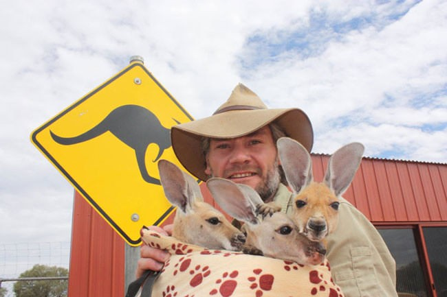 Good-guy-has-saved-28-orphan-baby-kangaroos-after-their-moms-were-killed-by-cars54-650x433