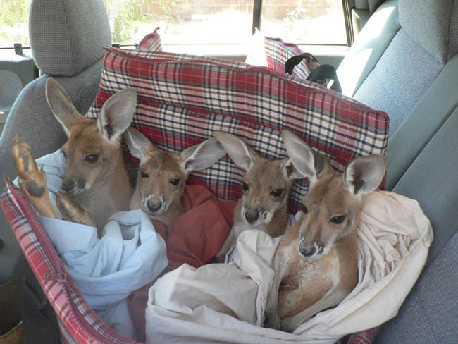 Good-guy-has-saved-28-orphan-baby-kangaroos-after-their-moms-were-killed-by-cars61-650x488