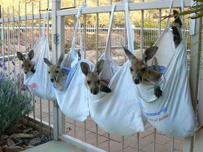 Good-guy-has-saved-28-orphan-baby-kangaroos-after-their-moms-were-killed-by-cars7-650x488