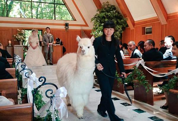 In Giappone potete farvi prestare un alpaca come testimone di nozze