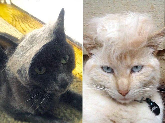 trump cat16