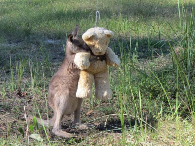 orphaned kangaroo teddy bear 1