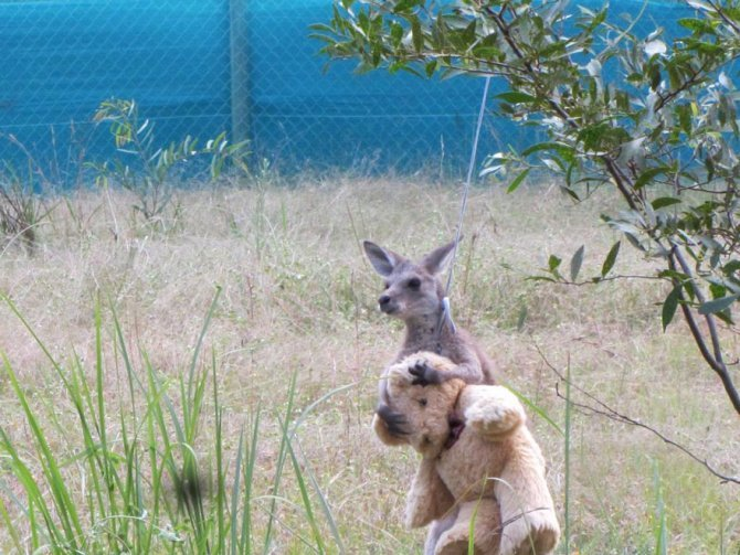orphaned kangaroo teddy bear 2