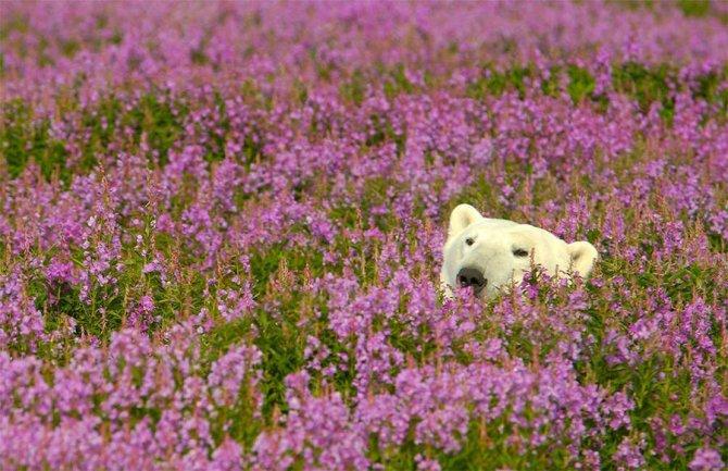 orso polare campo fiori 1