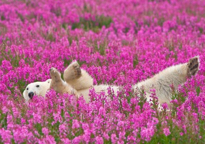 orso polare campo fiori 2