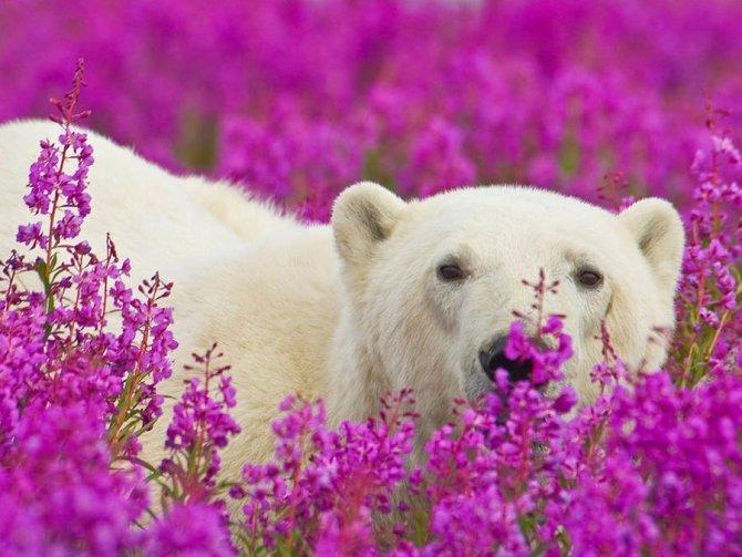 orso polare campo fiori 3