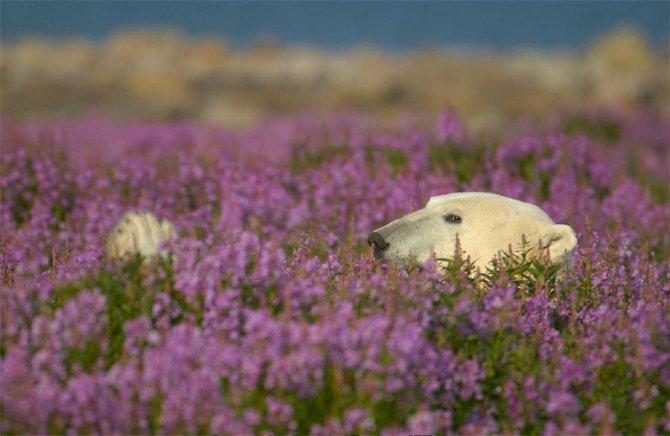 orso polare campo fiori 4