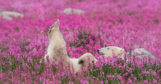 orso polare campo fiori 5