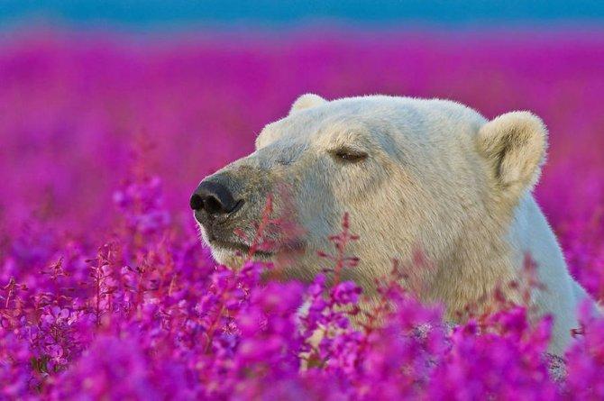 orso polare campo fiori 6