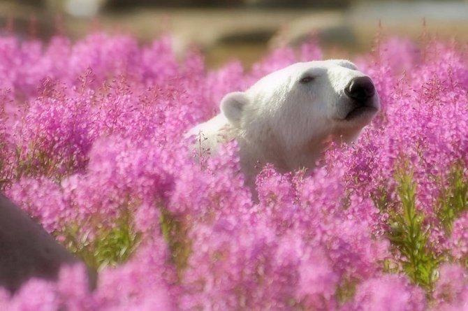 orso polare campo fiori 7