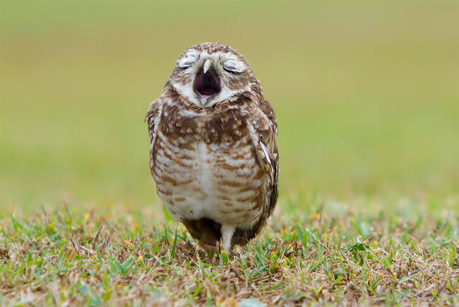 21-owls-that-have-stolen-the-show-14-is-a-little-nugget12.jpeg.pagespeed.ce.8S-eqU_W6e