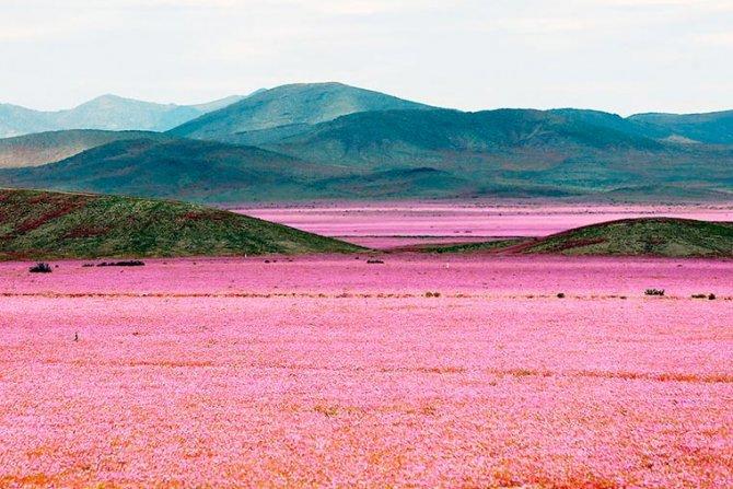 Il deserto più arido del mondo si ricopre di fiori e diventa bellissimo