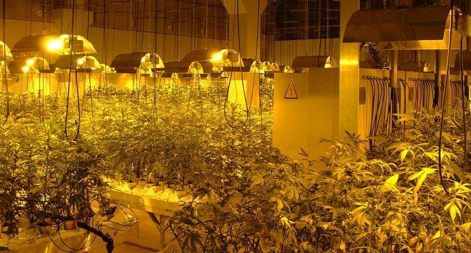 Coltivazione marijuana