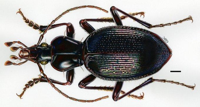 Scaphinotus hoodooensis