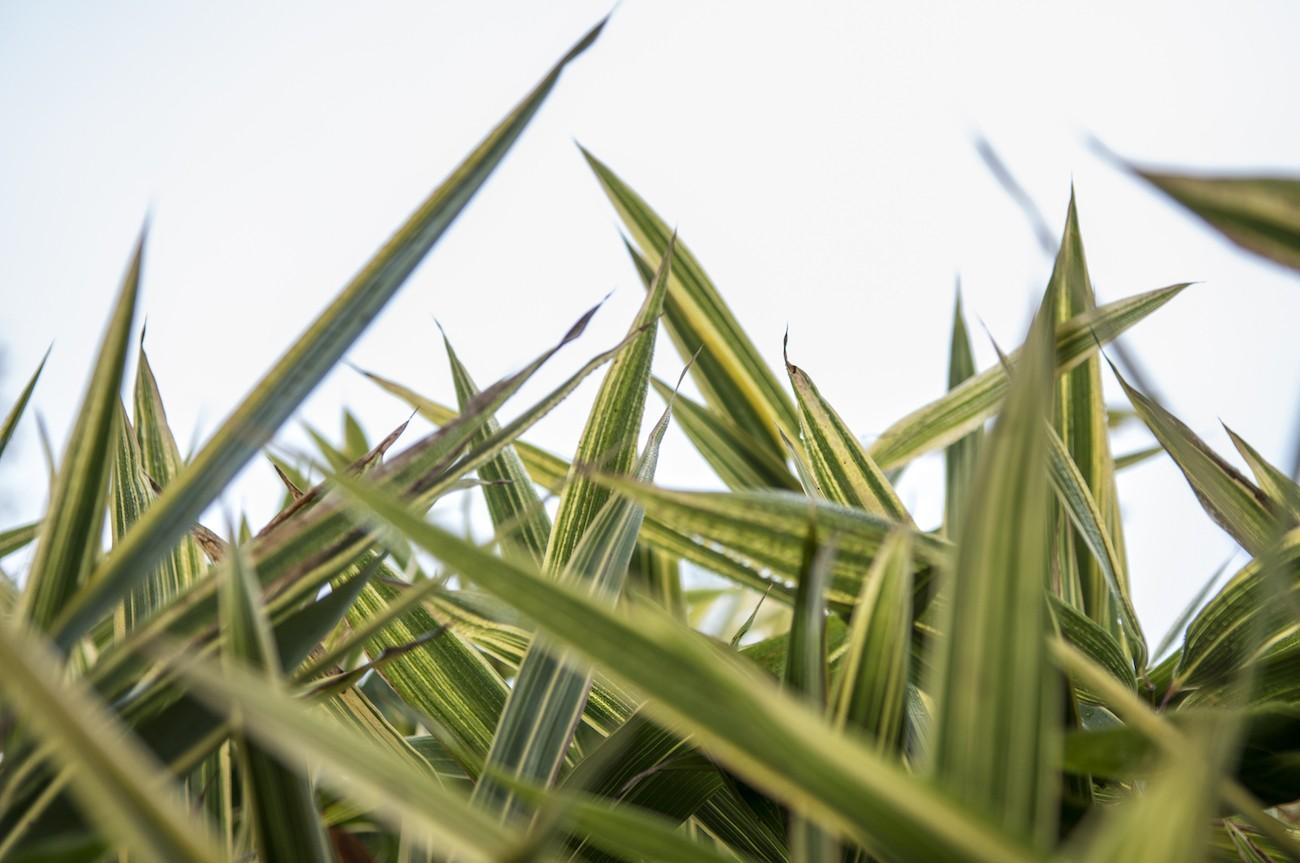 Il bambù cresce rigoglioso nel Labirinto