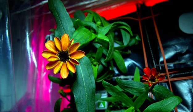 Il fiore spaziale nato sulla ISS