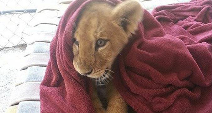 leone-cucciolo