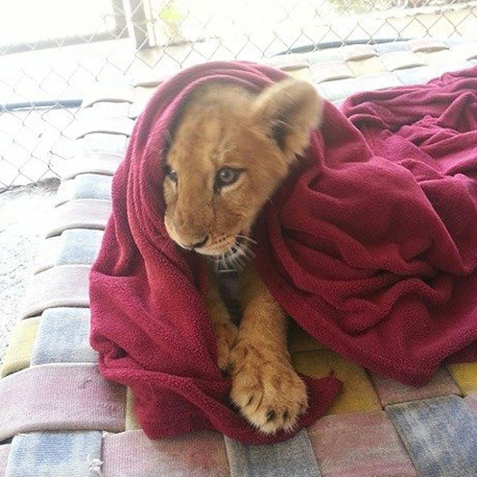 rescued-african-lion-sleeping-with-blanket-15