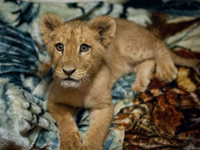 rescued-african-lion-sleeping-with-blanket-4