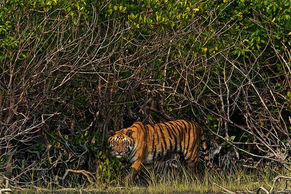 1110.Sundarbans_MM7666_800.600