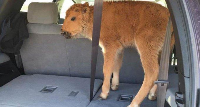 Il cucciolo di bisonte soppresso, nel bagagliaio del suv