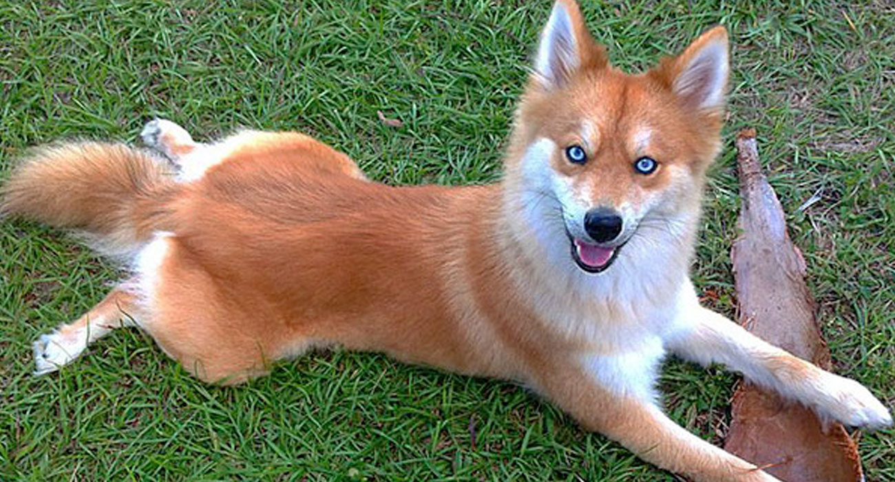 Il cane che sembra una volpe sta facendo impazzire l'internet