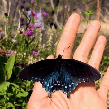 rare-blue-swallowtail-pipevine-butterfly-repopulation-tim-wong-1