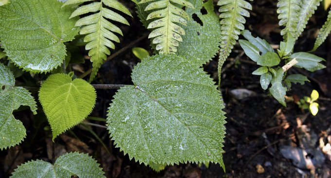 Dendrocnide-moroides