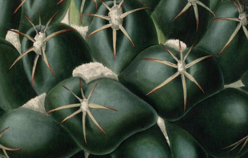 cactus-alta-risoluzione-charles-lemaire